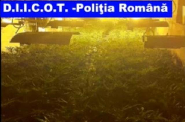 plantatie cannabis diicot arad