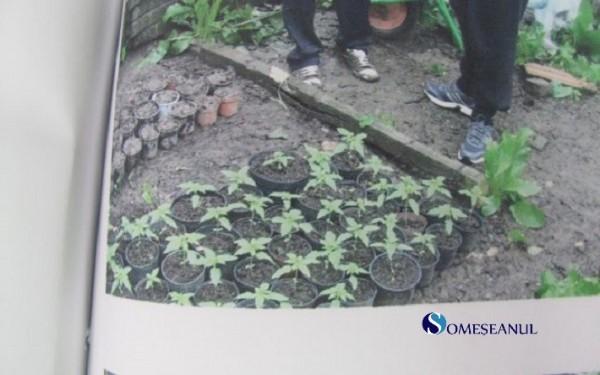 captura cannabis salaj