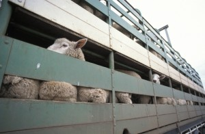 Sheep crowded into a transport truck await the auctioneers hammer.