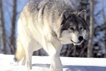 A anuntat ca 6 persoane au fost atacate de lupi