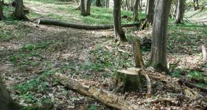 taiere-ilegala-de-arbori