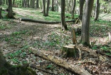 Tăiere ilegală şi furt de arbori la Fizeșu-Gherlii