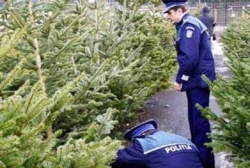 A început traficul cu pomi de Crăciun la Cluj. 156 de brazi confiscați de polițiști