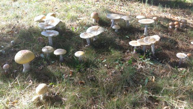 ciuperci otravitoare