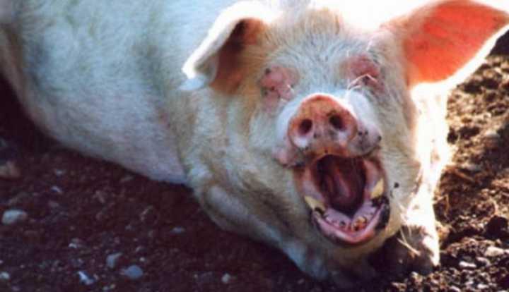 mancat de porci