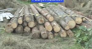 furt arbori-mafia-lemnului-taieri ilegale