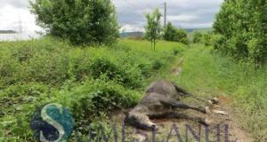 someseanul-cal mort calea ferata-1