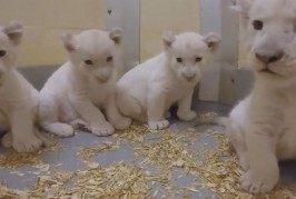 VIDEO – Patru puișori de leu alb s-au născut la grădina zoologică