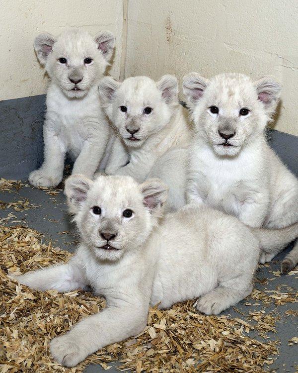 zoo toronto pui leu alb