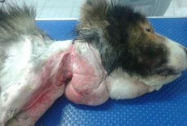 Imagini sfâșietoare! Așa arată un câine ținut în lanț ani de zile – FOTO