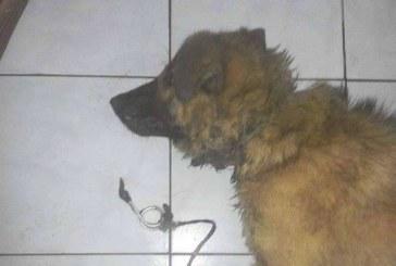 Un câine cu gâtul tăiat de lanț, salvat de la moarte din curtea unei vile din Baia Mare – FOTO