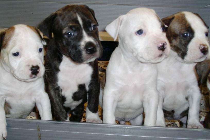 american-staffordshire-terrier-catei