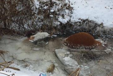 Oribil! Mai multe vaci moarte, prinse în ghețurile Văii Fizeșului – FOTO