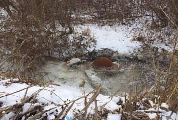 Vacile moarte, prinse în ghețurile Văii Fizeșului au fost scoase din apă. Proprietarul va fi identificat după ADN-ul vacilor – VIDEO