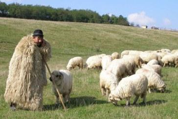 Invitație la tradiții populare: Împreunatul oilor la Rugășești și Bârlea