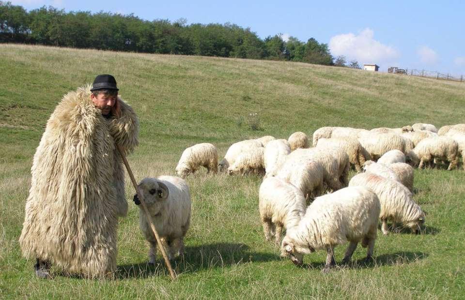 cioban oi stana