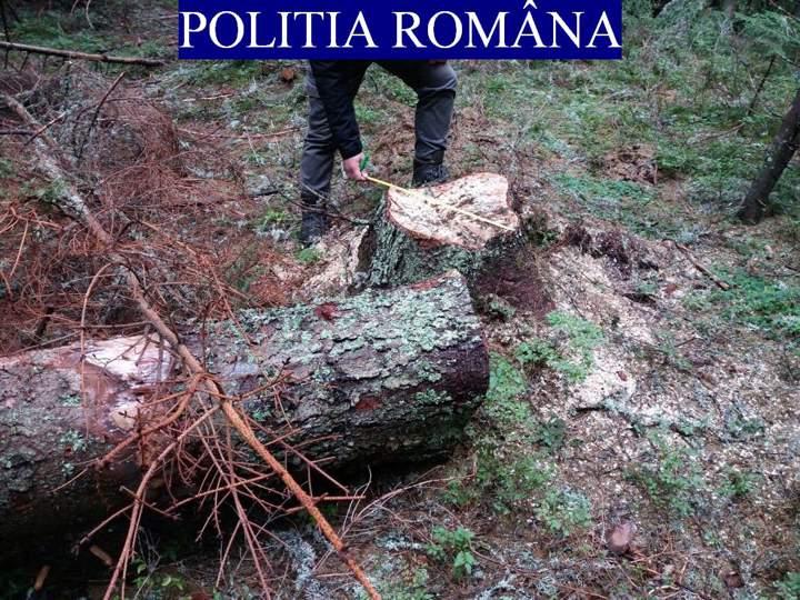 Doi pădurari cercetați penal pentru tăierea unor arbori din zona Beliș