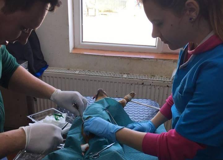 sterilizare caini mica