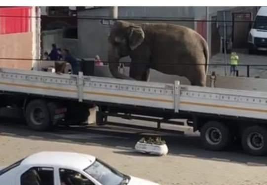 elefant circ sighet